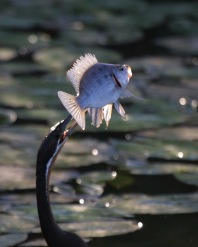 African Darter catching a fish