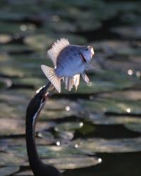 African Darter catching a fish