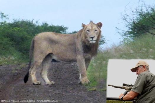 Thanda Lion