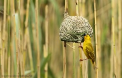 Yellow Weaver