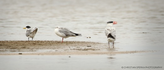 Swift Tern, Grey-headed Gull, Caspian Turn