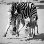 Danger | A Wildebeest calf getting kicked by Zebras as it mingled with the wrong crowd