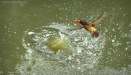Bathing | Pygmy Kingfisher having a bath