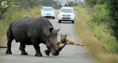 Rhino, Lion and Park Visitors