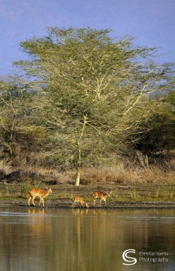 Nyalas on the opposite bank