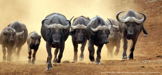 Cape Buffalo stampede