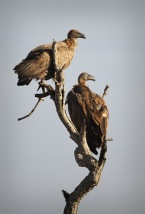 Two White-backed Vultures roosting in the morning sun