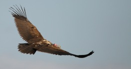 Lappet Face Vulture in flight