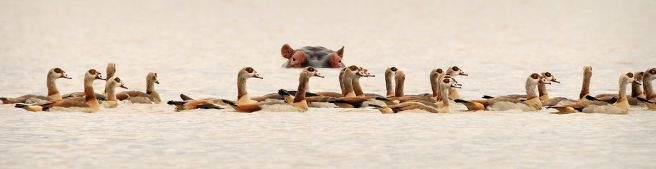 Hippo and Egyptian Geese