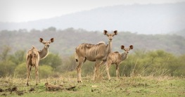 Kudu along the shore