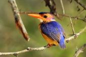 African Pygmy Kingfisher (C) Christian Sperka Photography
