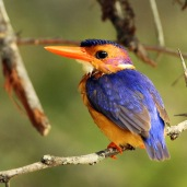 African Pygmy Kingfisher (C) Christian Sperka Photography