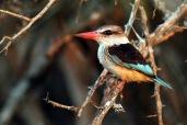Brown-hooded Kingfisher (C) Christian Sperka Photography