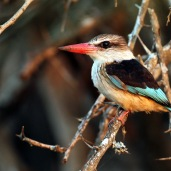 Brown-hooded Kingfisher (C) Christian Sperka Photography