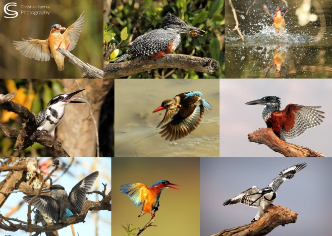Kingfisher Collage