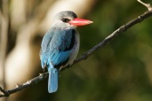 Mangrove Kingfisher (C) Christian Sperka Photography