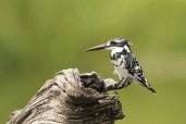 Pied Kingfisher (C) Christian Sperka Photography