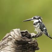 Pied Kingfisher (C) Christian Sperka Photography