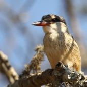 Striped Kingfisher (C) Christian Sperka Photography