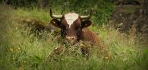 Muuh @ Tierpark Arth-Goldau