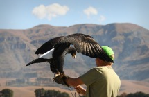 Black beauty ... (Verreaux Eagle)