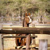 Prinz - Pakamisa's stallion - longing for the ladies ...