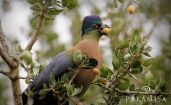Purple-crested Turaco ...