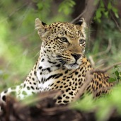 ... and one of my favorite Leopard pictures taken in 2006 ...