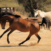 An excited Pakamisa mare ...