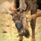 A Wildebeest scratching ...