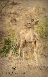 A Kudu on the lookout ...