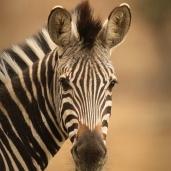 A Zebra staring ...