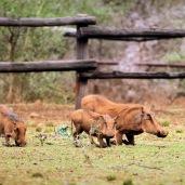 Grazing Warthogs ...