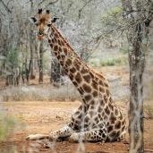 A resting Giraffe ...