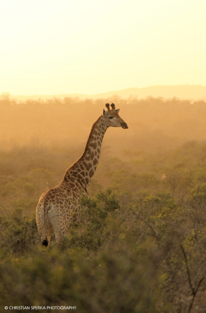 Giraffe in the morning light - during a photo shoot with a photographer for a German magazine
