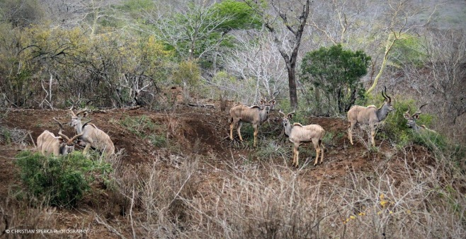 Six beautiful Kudu bulls - all at once and quite relaxed - a very rare sighting ...