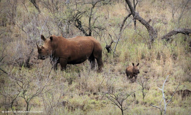 The smallest calf I have seen in a long time. Sightings like this give hope ...