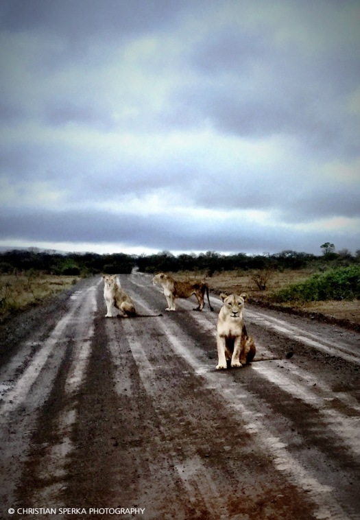 Morning after heavy rains - everything is wet - including the Lions ...