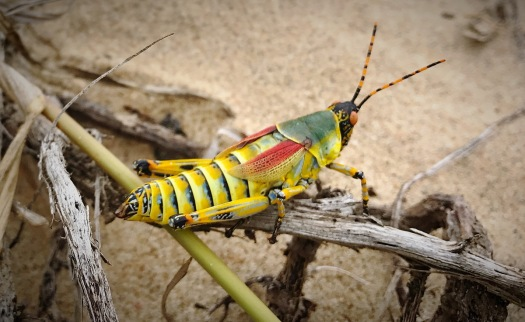 A Splendid Locust on the St.Lucia beach ...
