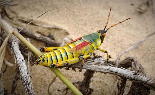 A Splendid Locust on the St.Lucia beach ...